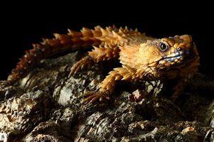 Истоки появления рептилий, в том числе, поясохвоста.