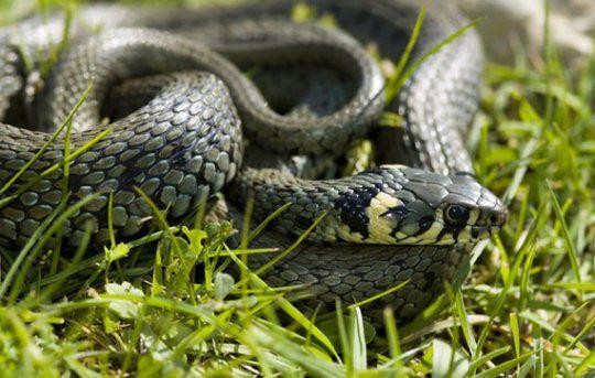 Особенности домашнего содержания змей.