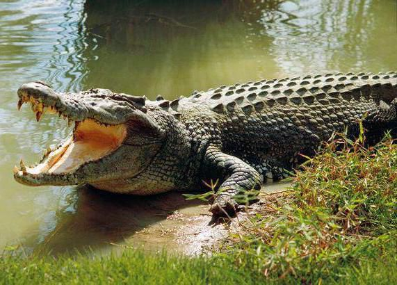 Древний крокодил, кто тебя породил?