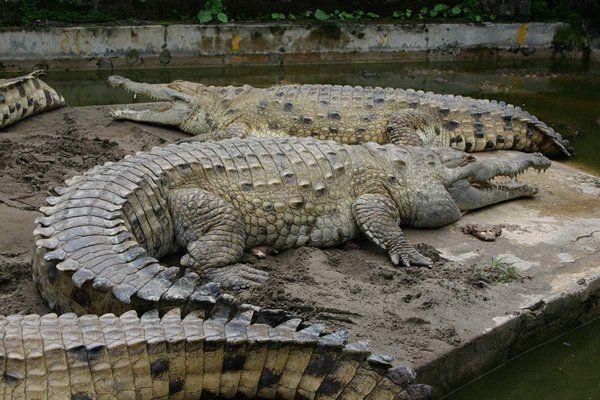 Оринокский крокодил.