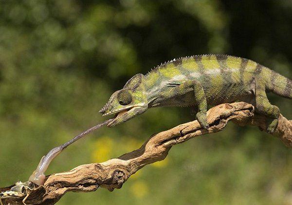 Биологический проект животного: хамелеон.