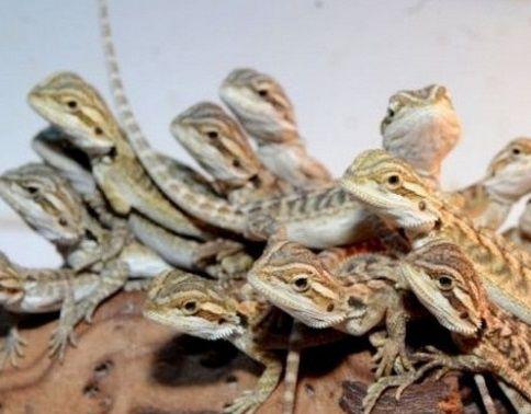 Стимулируем размножение ящериц.
