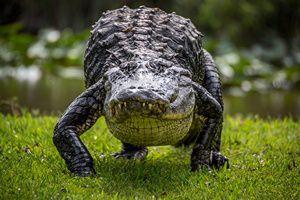 Хищник крокодил – король пресмыкающихся.