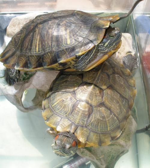 Создаем условия для разведения черепах