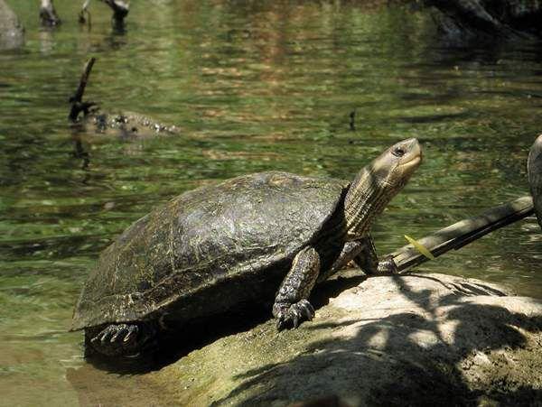 Каспийская черепаха.