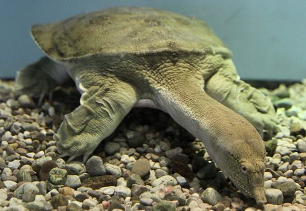 Черепаха трионикс (дальневосточный, китайский).