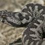 Носатая гадюка (Vipera ammodytes).